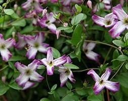 Clematis × triternata Rubromarginata