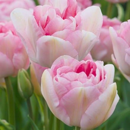 Tulipa Angelique