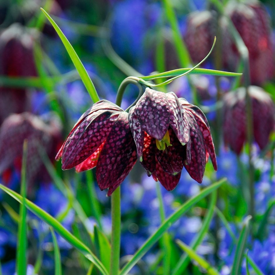 snake's head fritillary bulbs