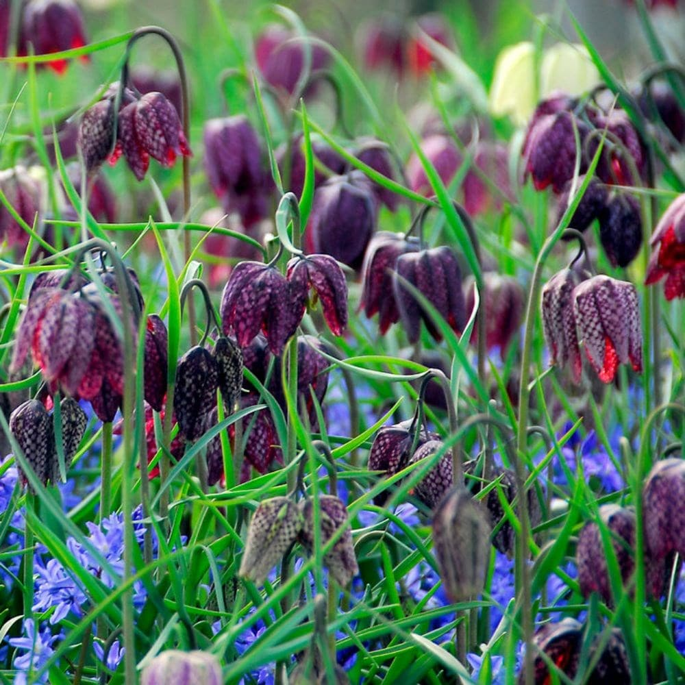 Buy snake's head fritillary bulbs Fritillaria meleagris: £ ...