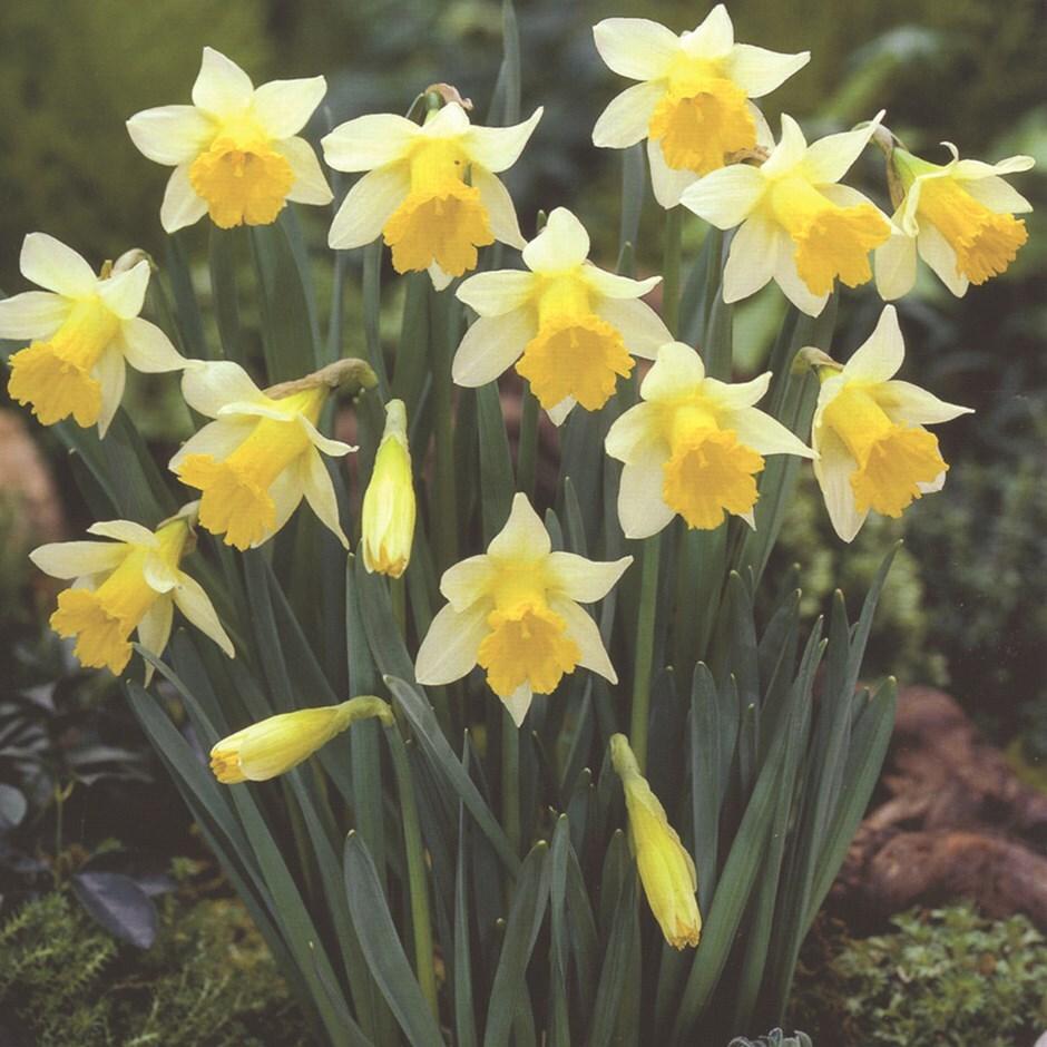 trumpet daffodil bulbs