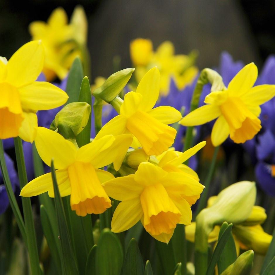 miscellaneous daffodil bulbs