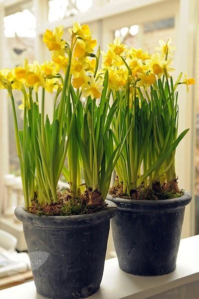 Buy Miscellaneous Daffodil Bulbs Narcissus Tete A Tete 163 1