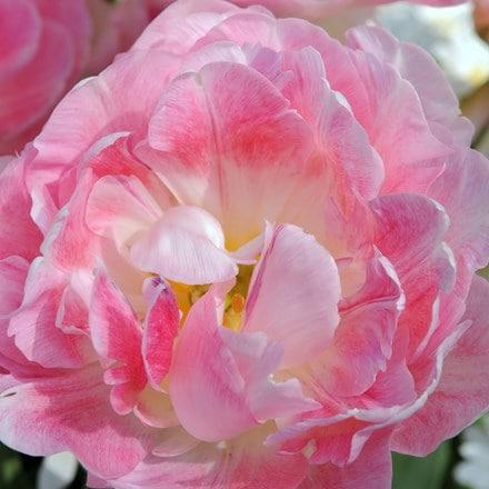 Tulipa Peach Blossom