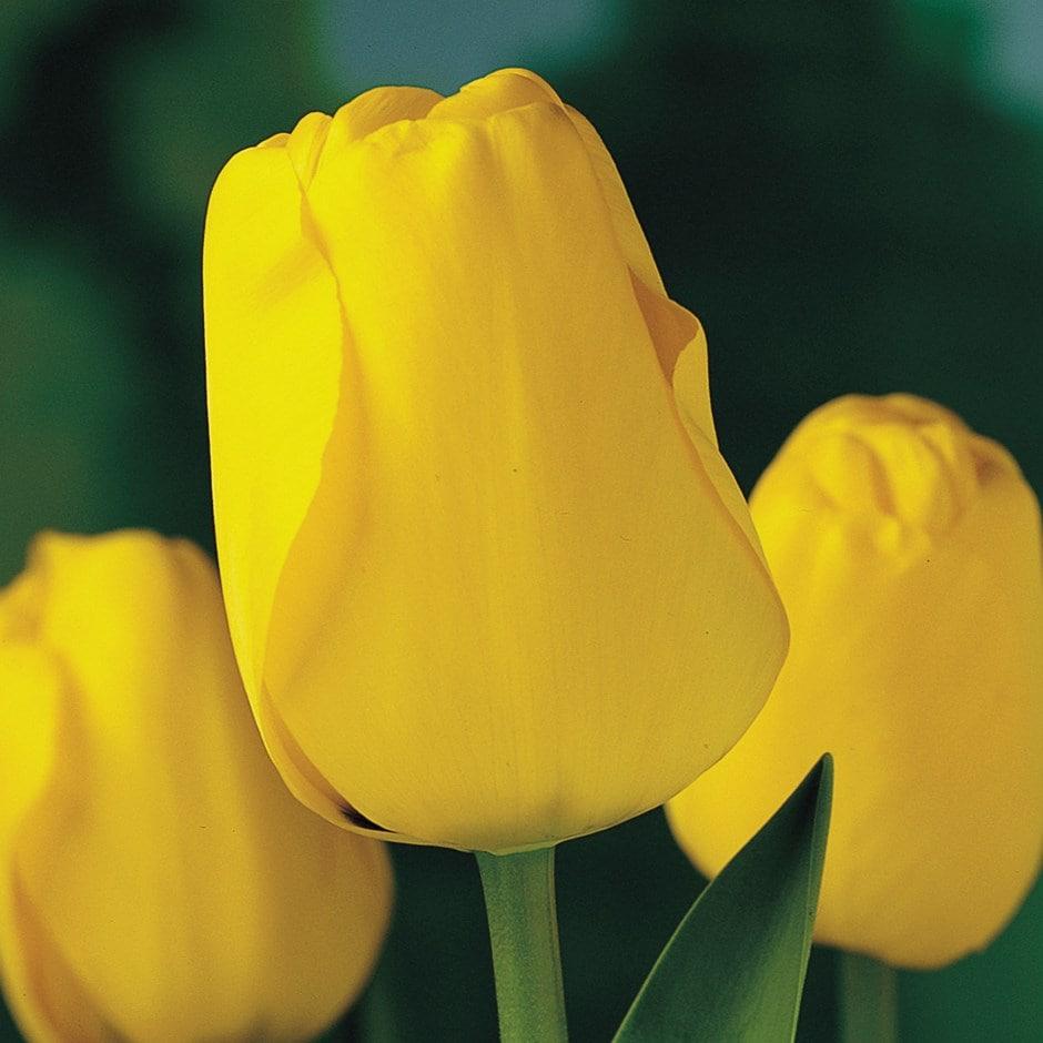 Darwin hybrid tulip bulbs