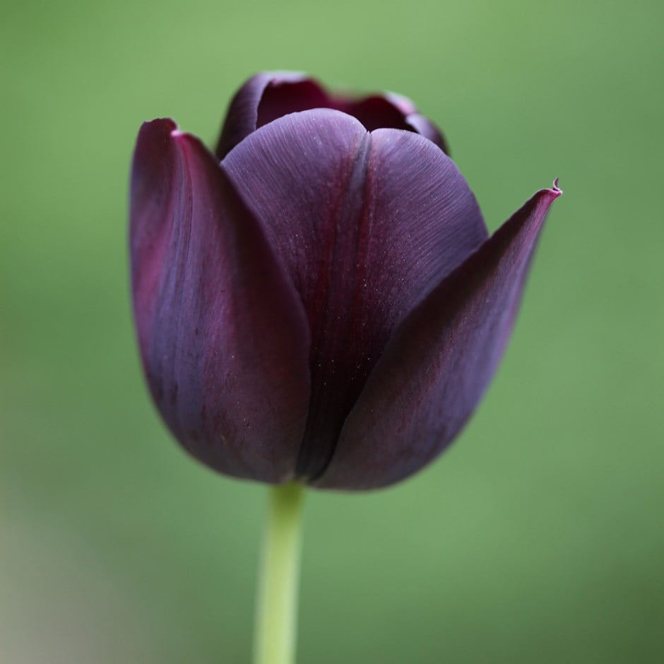 buy single late tulip bulbs tulipa queen of night 2 0 delivery by