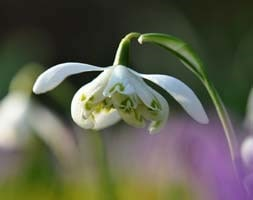 double snowdrop bulbs