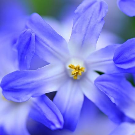 Scilla Blue Giant