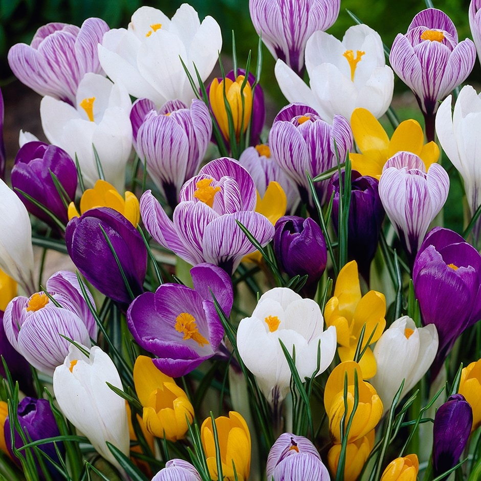 Buy large flowering crocus bulbs crocus mixed colours 599 crocus mixed colour collection mightylinksfo