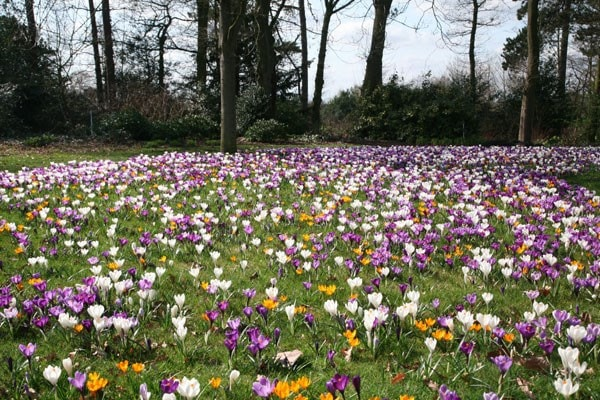 Buy Large Flowering Crocus Bulbs Crocus Mixed Colours 163 4