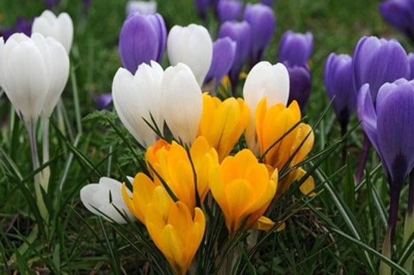 Buy Large Flowering Crocus Bulbs Crocus Mixed Colours 163 5