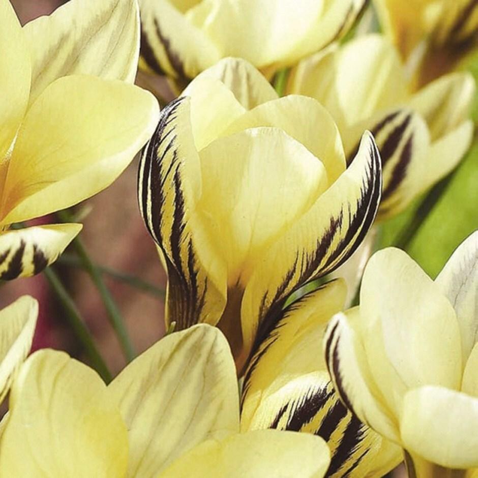 species crocus bulbs