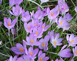 early crocus bulbs