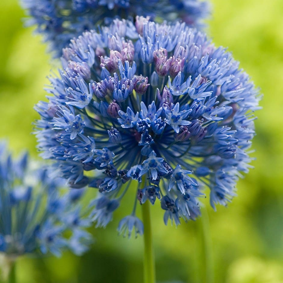 blue allium bulbs (syn allium azureum )