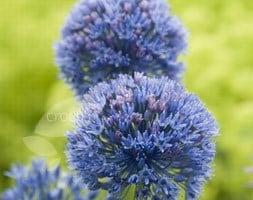 blue allium bulbs (syn allium azureum )