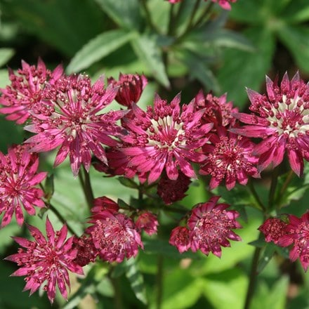 Astrantia major Ruby Wedding