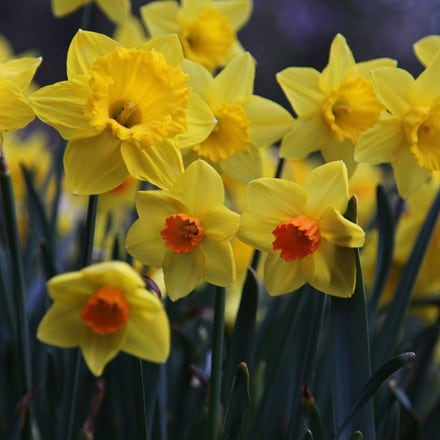 Narcissus for naturalising