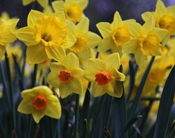 mixed daffodil collection bulbs