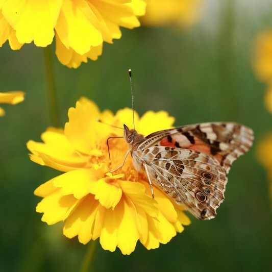 corn marigold (syn. Chrysanthemum segetum )