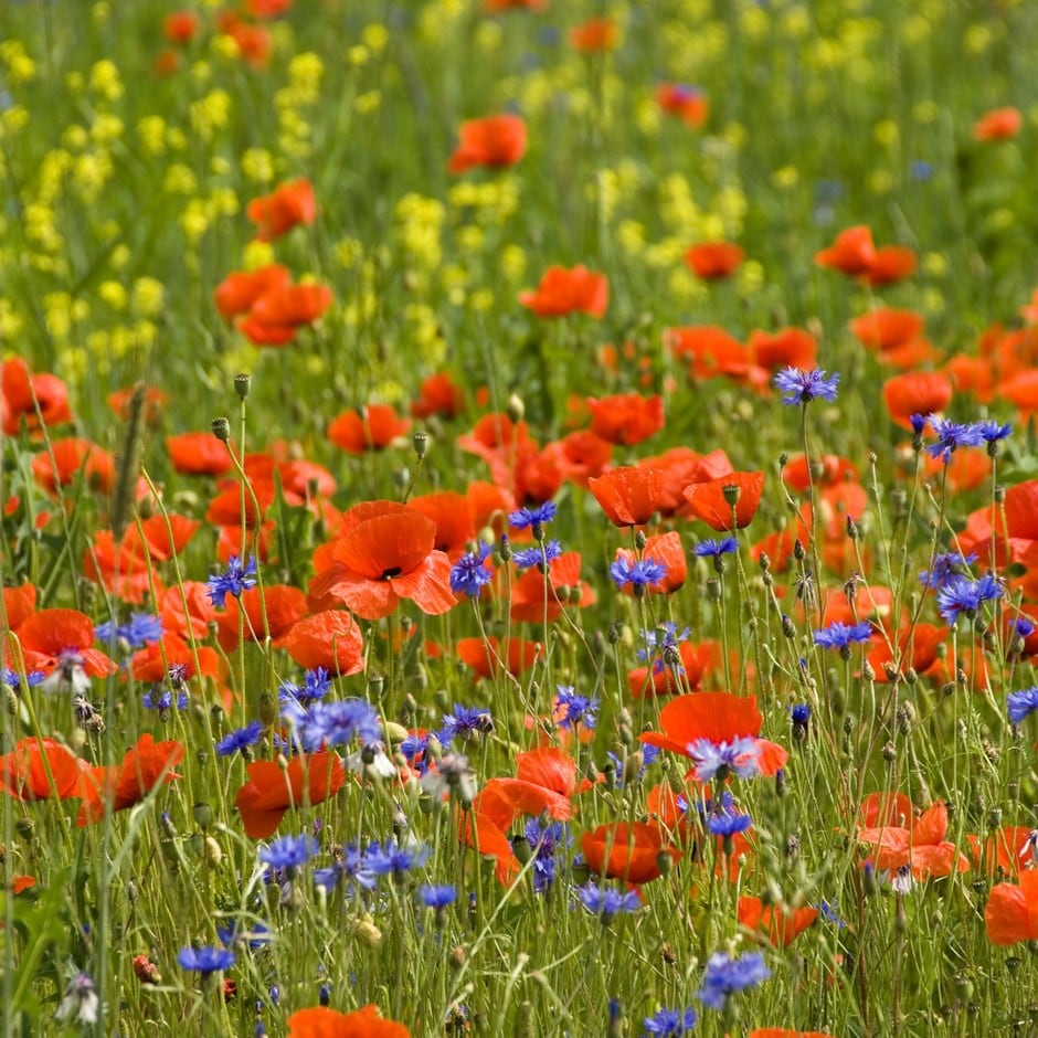 poppy field collection