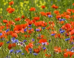 Poppy field collection of annuals