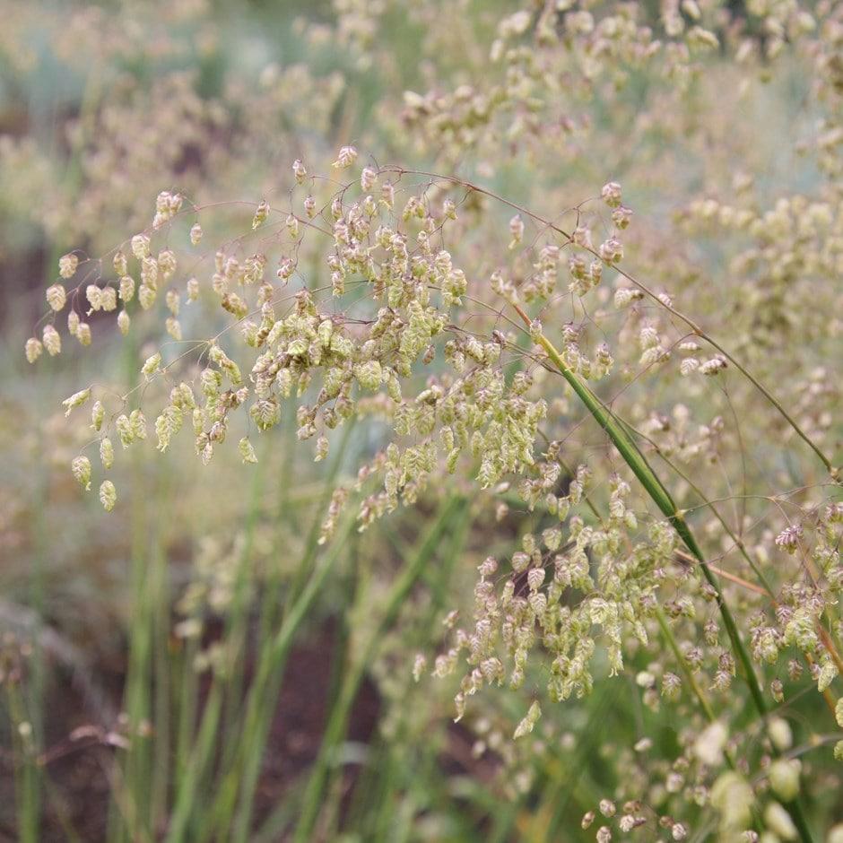 Lesser quaking grass