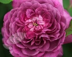 rose Reine des Violettes (hybrid perpetual)