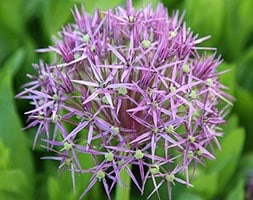 star of Persia bulbs ( Allium christophii )
