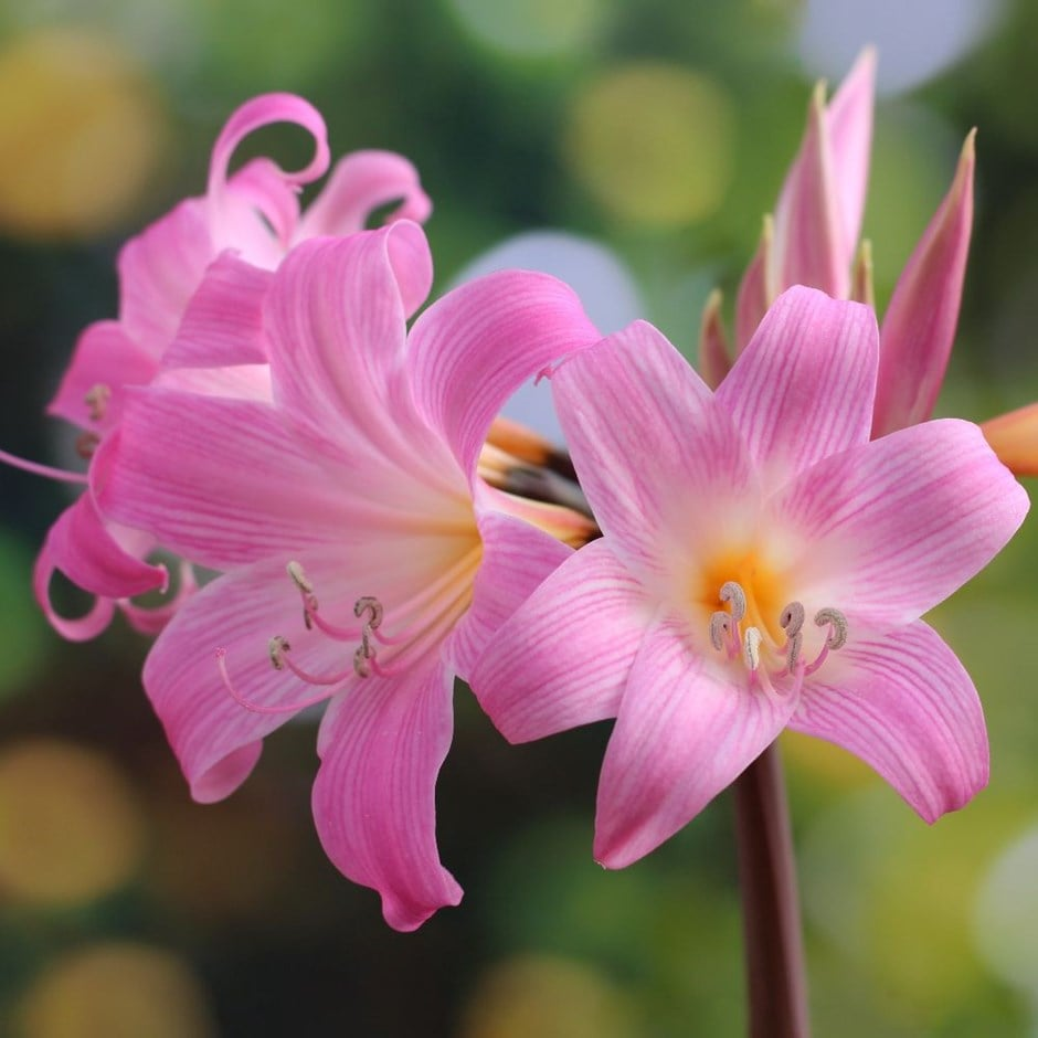 Buy belladonna lily bulb amaryllis belladonna for Bulbes amaryllis belladonna