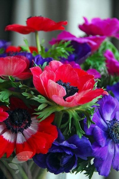buy anemone bulbs anemone coronaria de caen group mixed. Black Bedroom Furniture Sets. Home Design Ideas