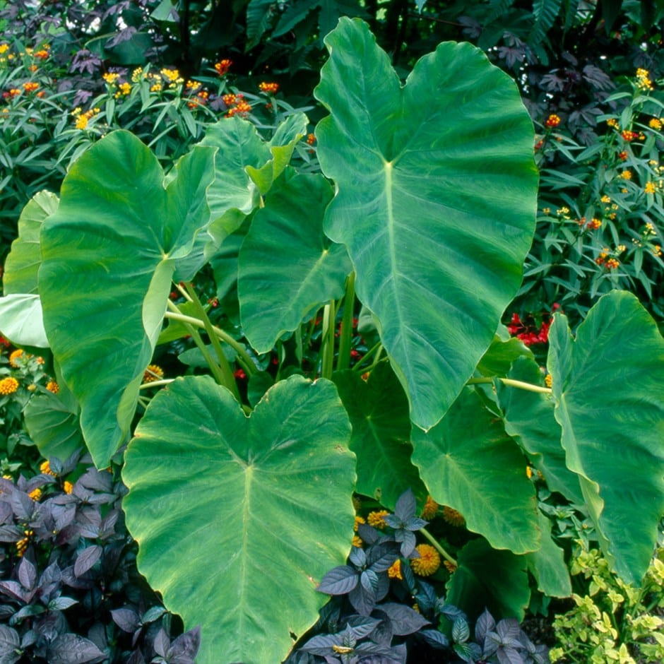 buy elephant 39 s ears colocasia esculenta delivery by crocus. Black Bedroom Furniture Sets. Home Design Ideas