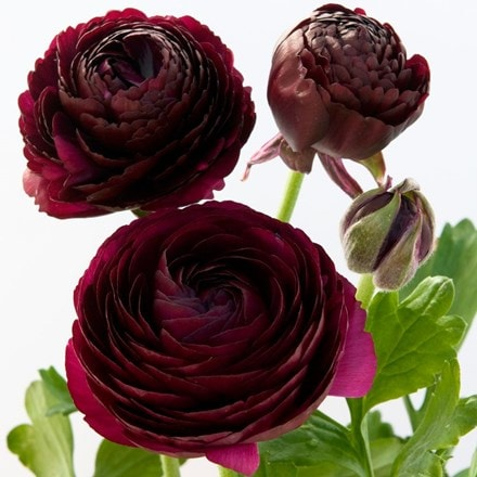 Ranunculus Purple Heart