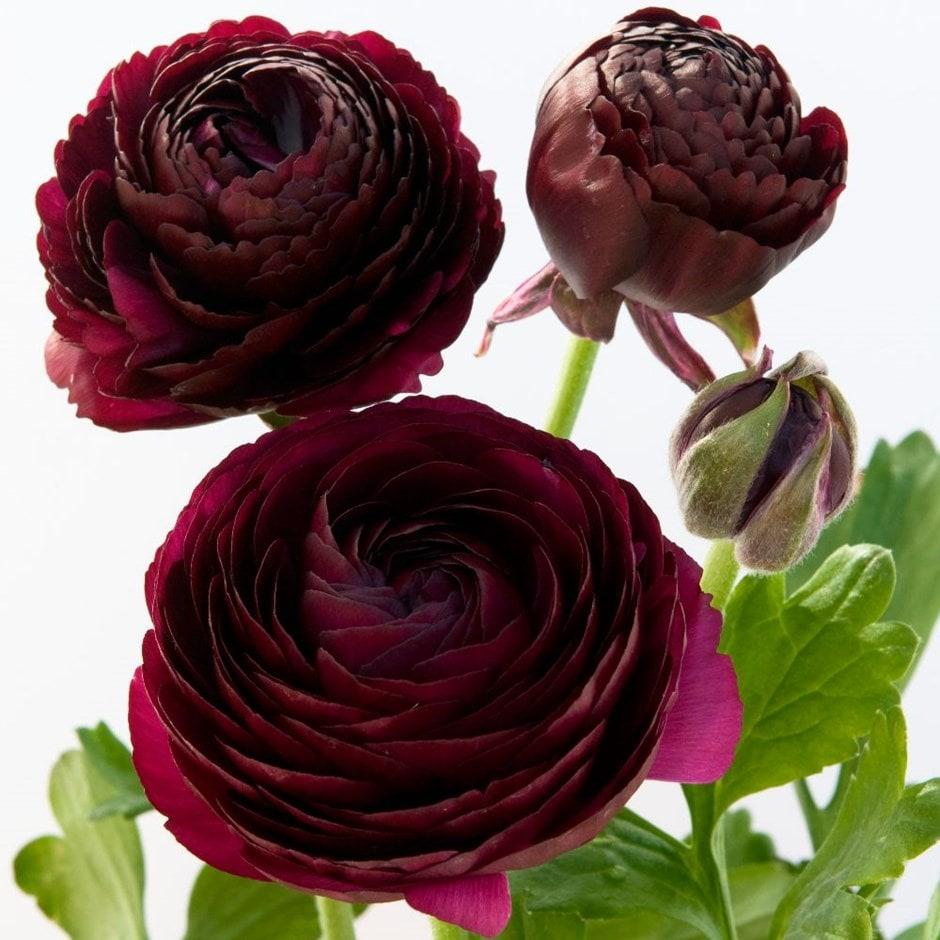 Buy Ranunculus Bulbs Ranunculus Purple Heart 163 4 99 Delivery By Crocus