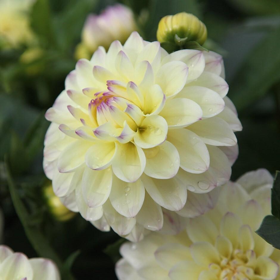 decorative dahlia tuber