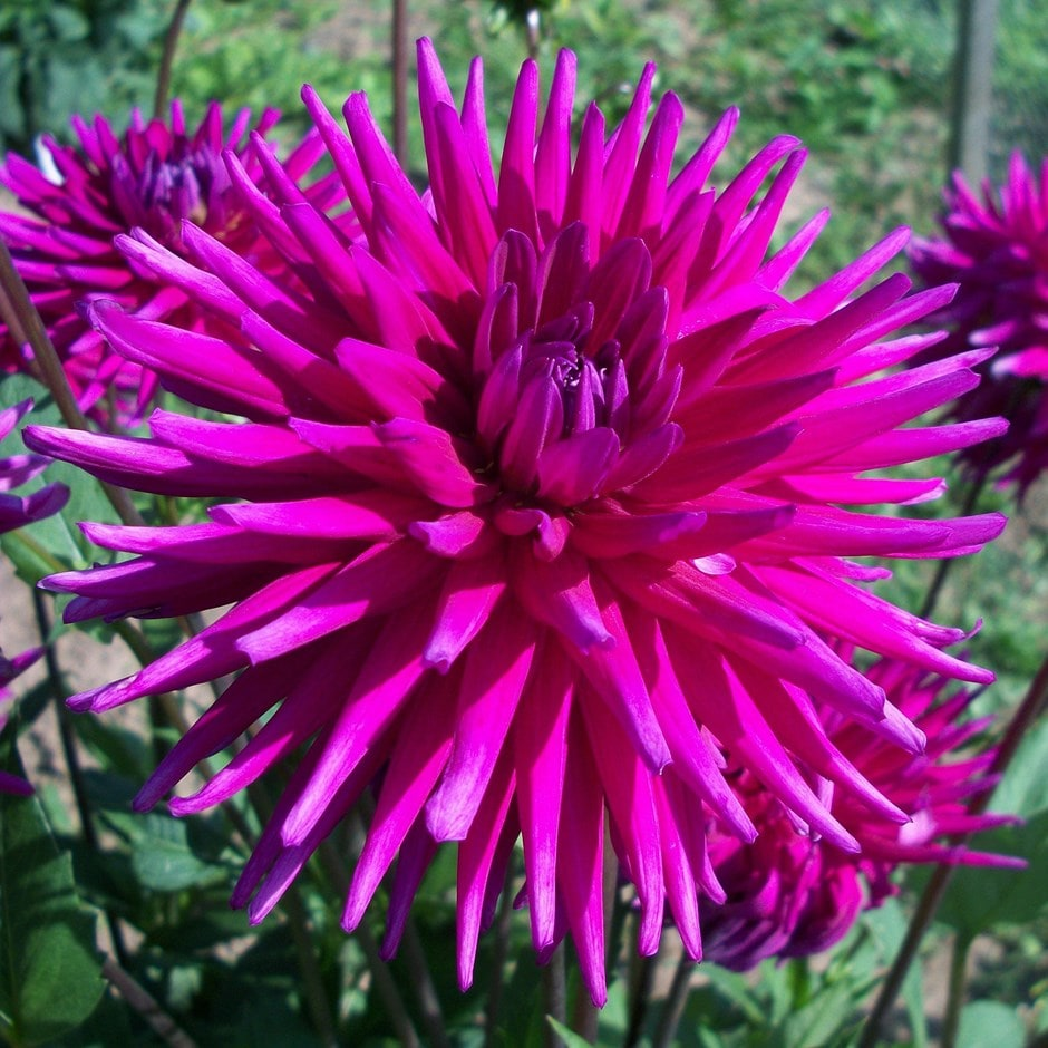 Buy semi cactus dahlia tuber dahlia purple gem 399 delivery by crocus zoom izmirmasajfo