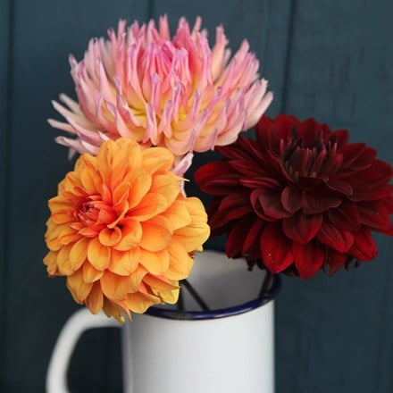 Ember glow dahlia collection