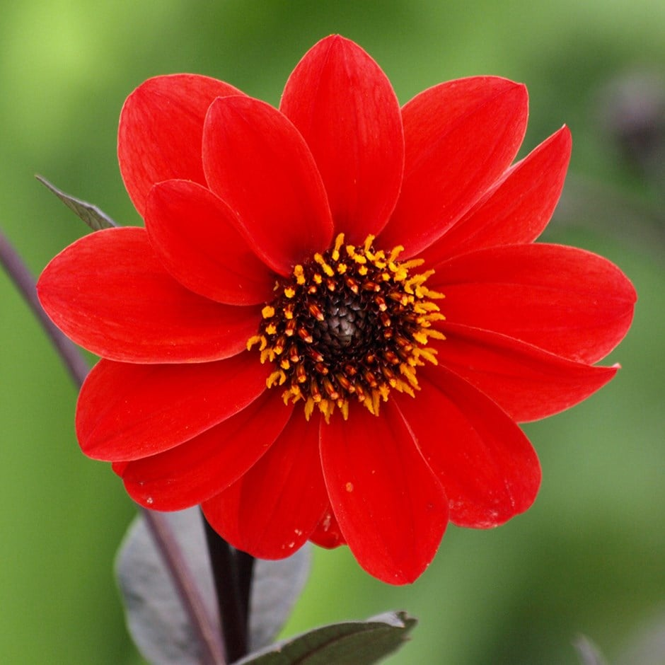 Buy Dahlia Tuber Dahlia Bishop Of Llandaff 163 3 99 Delivery