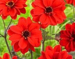 paeony-flowered dahlia tuber