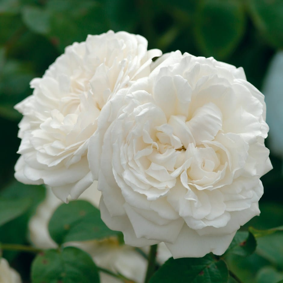 Buy Rose Winchester Cathedral Shrub Rosa Winchester