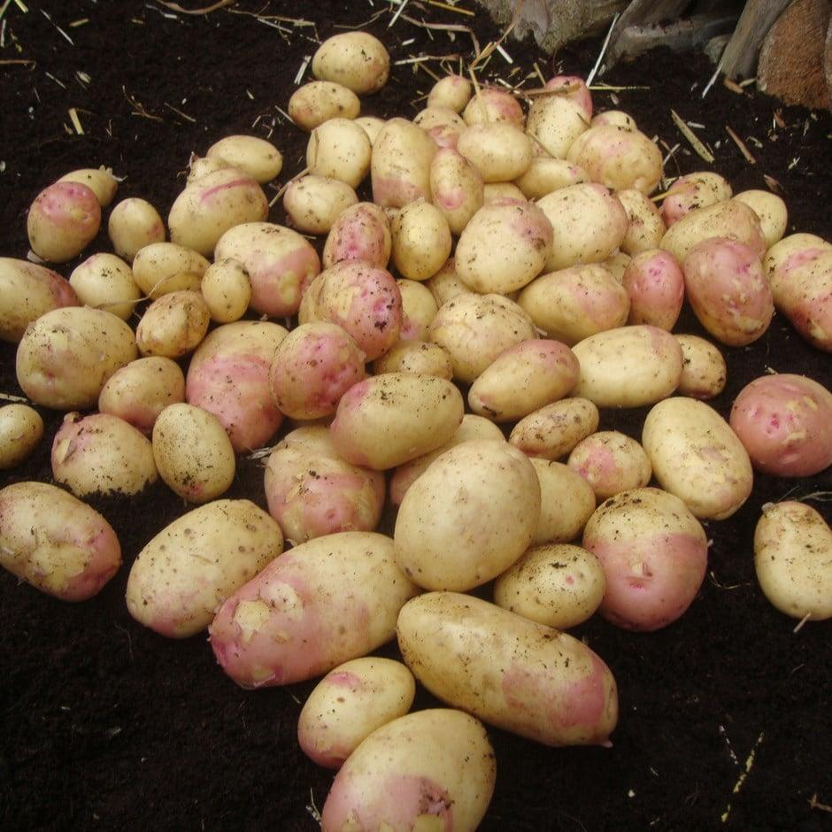 potato - early maincrop, Scottish basic seed potato