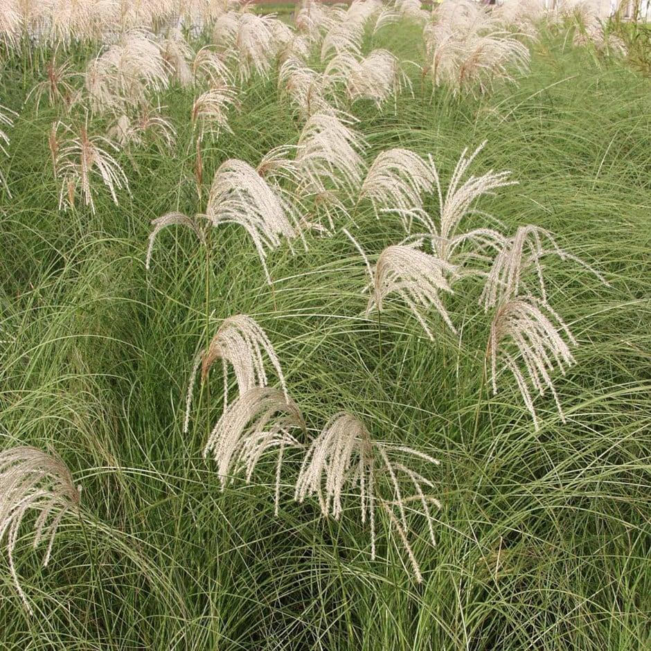 buy chinese silver grass miscanthus sinensis gracillimus. Black Bedroom Furniture Sets. Home Design Ideas