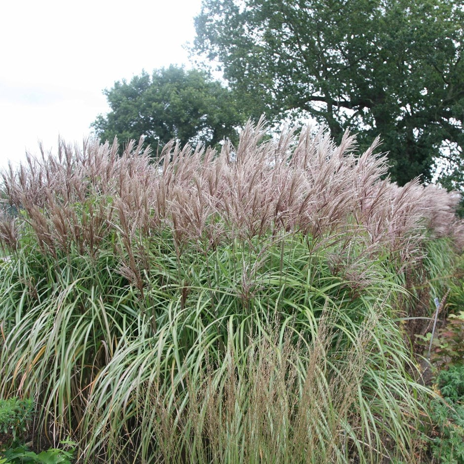 buy chinese silver grass miscanthus sinensis malepartus. Black Bedroom Furniture Sets. Home Design Ideas