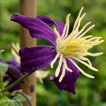 Clematis × aromatica
