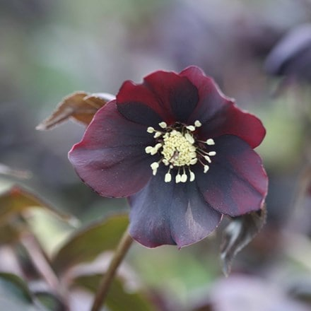 Helleborus × hybridus Harvington Shades of the Night