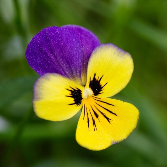 heartsease / Viola 'Tricolor'