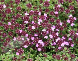 thyme /  Thymus Coccineus Group