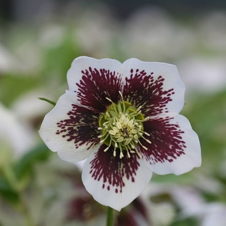 Helleborus × hybridus Harvington white speckled