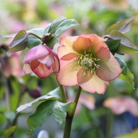 Helleborus × hybridus Harvington apricot