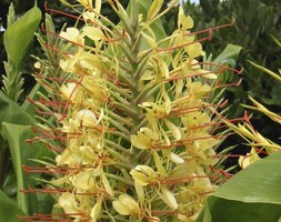 Kahili ginger lily
