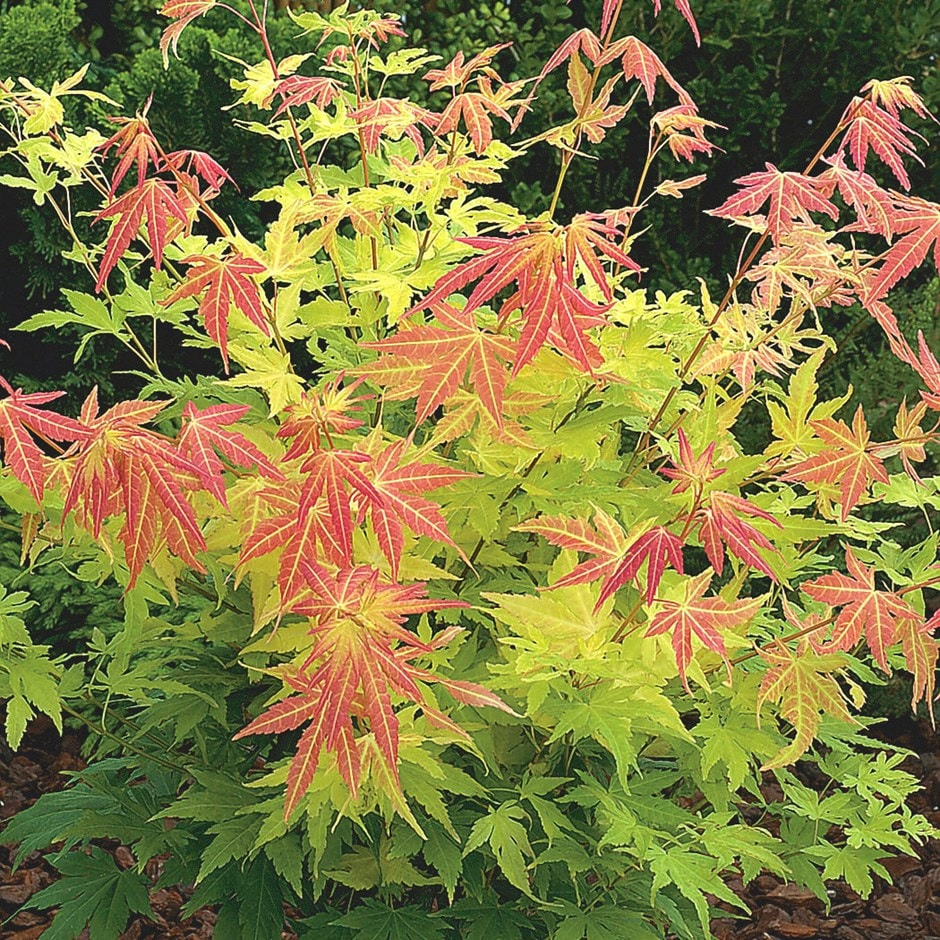 buy japanese maple acer palmatum orange dream delivery by crocus. Black Bedroom Furniture Sets. Home Design Ideas